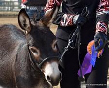 Chimera's Black Jake, Grand Champion Overall Donkey and Champion Miniature Donkey - Uploaded by mdmossburg