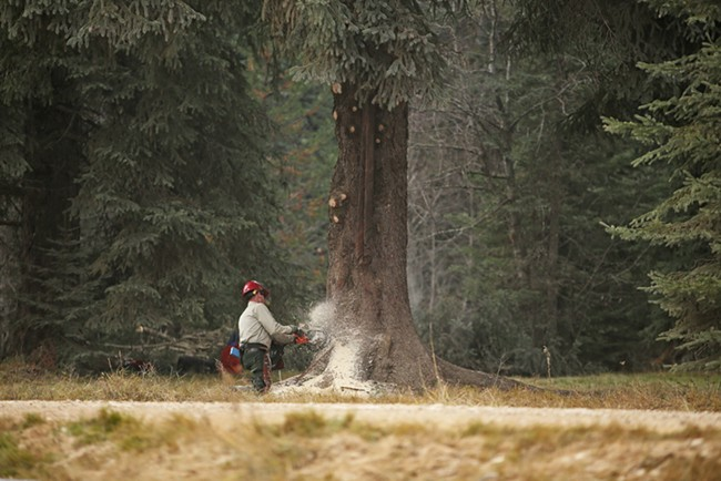 U.S. Forest Service employee John Wirth cuts the 88-foot Engelmann Spruce. - YOUNG KWAK