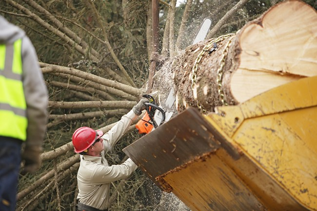U.S. Forest Service employee John Wirth cuts the bottom off the tree. - YOUNG KWAK