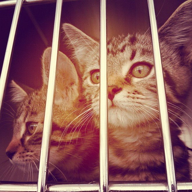 Don't worry — these two kittens didn't contract feline distemper, but young cats are very susceptible to the disease if they haven't been vaccinated yet. - CHEY SCOTT