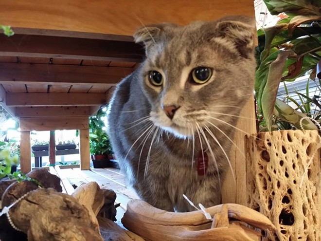 Wallace the Scottish Fold keeps an eye on things at the Division NW Seed store.