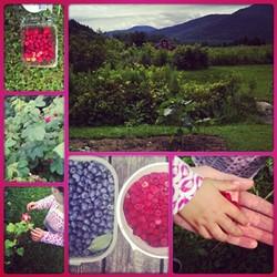 A blueberry patch in Jonesville.