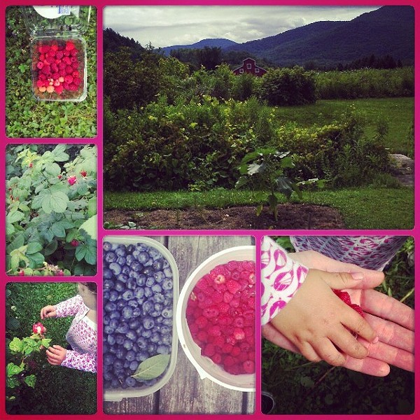 A blueberry patch in Jonesville.