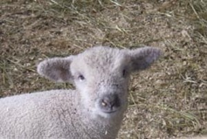 lambface.jpg