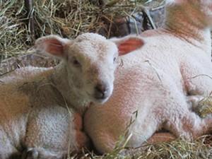 lambs12.jpg