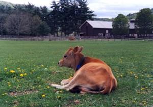 5-29_cows_camembert_weekend.jpg