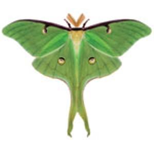 luna-moth.jpg