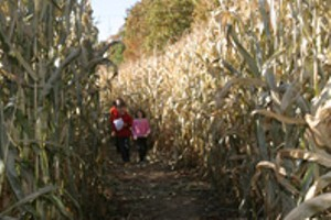 dwarfed-by-the-corn-1.jpg
