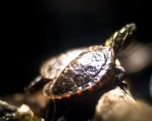 montshire_-_turtle_hatchlings_sm150x120.jpg