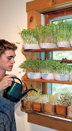 Growing greens on the windowsill - COURTESY OF PETER BURKE