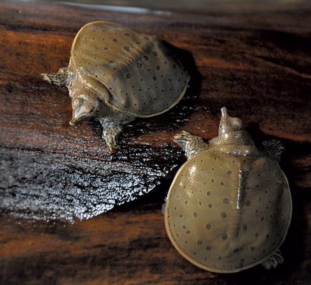 Softshell turtles - COURTESY OF ECHO