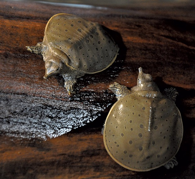 Softshell turtles - COURTESY OF ECHO