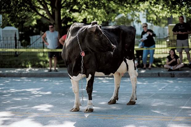 Festival goers gather to watch as Cow Plop Bingo gets underway on Main Street. - SAM SIMON