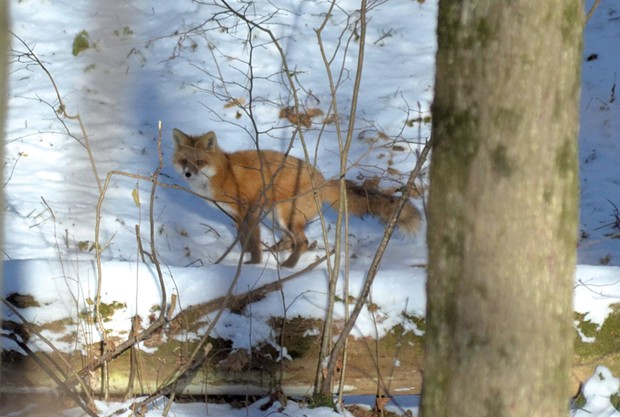 A red fox in Burlington's Centennial Woods - COURTESY OF TEAGE O'CONNOR