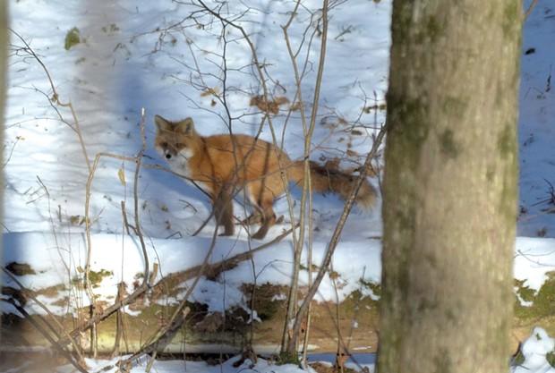 A red fox in Burlington's Centennial Woods - COURTESY OF TEAGE O'CONNOR