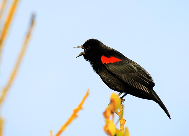 A red-winged blackbird sings - COURTESY OF EVLEEN ANDERSON/AUDUBON PHOTOGRAPHY AWARDS