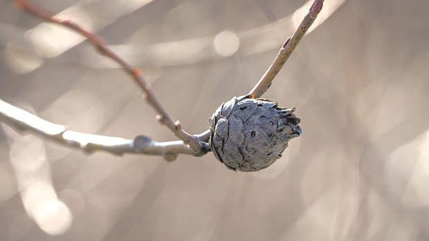 Willow pine cone gall - COURTESY OF SEAN BECKETT
