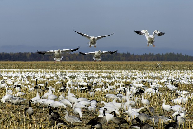 Snow geese - MIRAGE3 | DREAMSTIME.COM