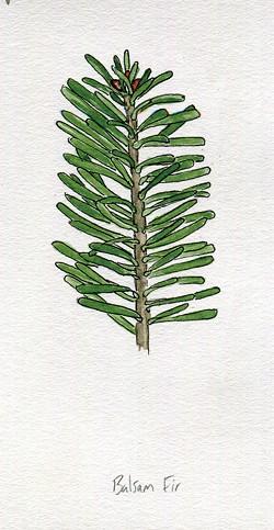 Balsam fir - JEANIE WILLIAMS