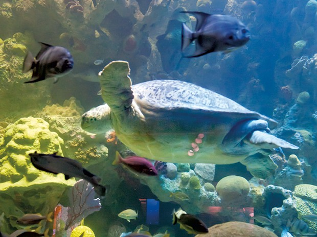 A turtle at the New England Aquarium - COURTESY OF NEW ENGLAND AQUARIUM