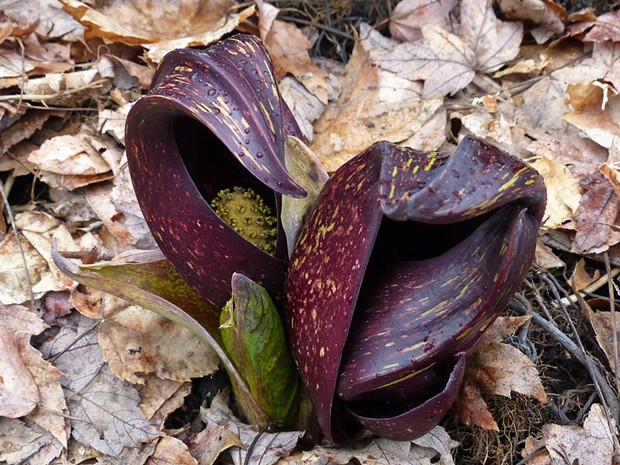 Skunk cabbage - © JUSTNATURECHANNEL | DREAMSTIME