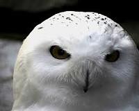 Snowy Owl Day