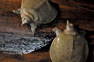Softshell turtles