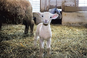 Norman, the newest lamb born at Billings Farm & Museum