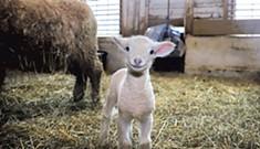 Local Farms Welcome Cute Lambs, Calves, Chicks
