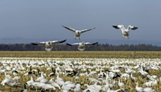 Places to Spot Snow Geese and Hawks This Fall