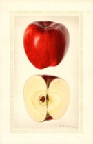 The Fruits of Time: Heirloom Apples, Then and Now