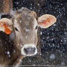 How Now Winter Cow?