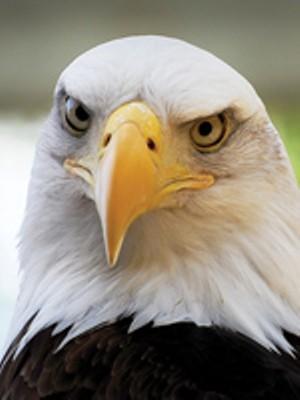 13jun-bald-eagle-web.jpg