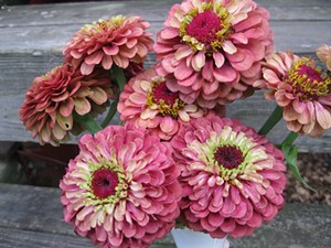 zinnia_queen_red_lime_11_stepd_down.jpg