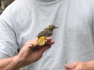 birdbanding_may2010_img_151.jpg