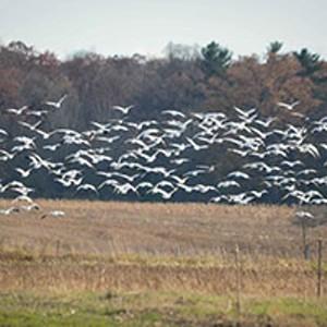 snow-geese_200.jpg