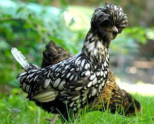 chicken_show011crop.jpg