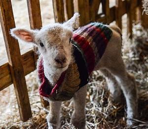 lamb_in_sweater_600x.jpg