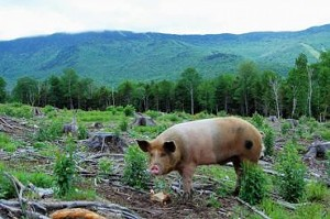 von-trapp-pigs-final2.jpg