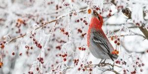 pine_grosbeak_berries-3-300x150.jpg