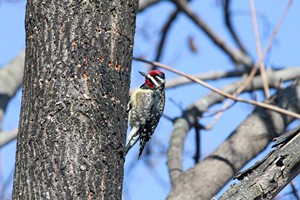 yellowbellied_sapsucker_kk_jennifer_upchurch_gbbc_2015.jpg