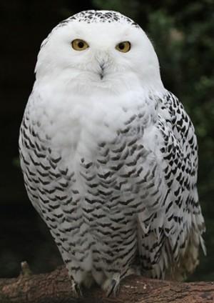 audubon_snowy_owl.jpg