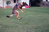After a stem-cell procedure, Blue can play frisbee again.