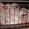 """""""Ag Gag"""" and the First Amendment"""