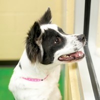 Mr. Rogers' Neighborhood B.C. (#A252083) 8-month-old female border collie mix • At MAS since March 9th Justin Fox Burks