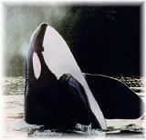 orca6_jpg-magnum.jpg