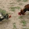 Marrero Proposes Anti-Cockfighting Bill