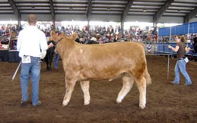 cattle08.jpg