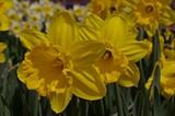 0ea8e4f3_daffodil-show.jpg