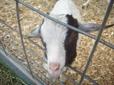 1252628143-goat.jpg